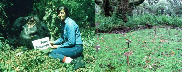 dian fossey research paper Dian fossey (/ d a ɪ ˈ æ n ˈ f ɒ s i / leakey lined up funding for fossey to research mountain gorillas, and fossey left her job to relocate to africa.