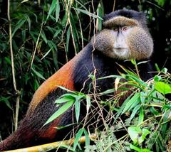 Golden Monkey Visits /Tracking – Volcanoes National Park - Rwanda