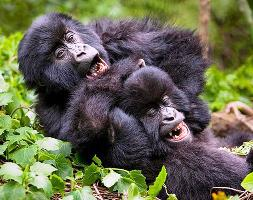Gorilla Tracking / Trekking – Volcanoes National Park - Rwanda