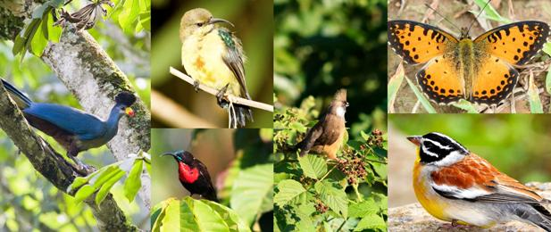 Nyungwe Forest Bird Walk - things to do and see in Nyungwe park