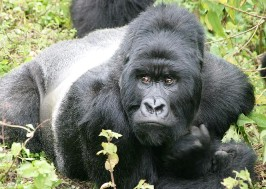 6 Day Bwindi Gorilla Trek, Kibale Forest Chimpanzee Tracking along with Queen Elizabeth National Park Wildlife Uganda Safari