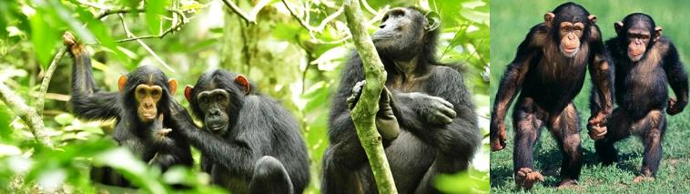 2 day Budongo Forest Chimpanzee Tracking, and Birding - Uganda Short Safari