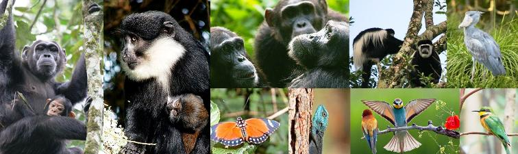 3 Day Kibale Forest Chimpanzee Tracking Safari in the Jungle-Uganda - Primates, Bigodi Wetland birds