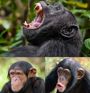 3 day Kibale Forest Jungle Safari  - Chimpanzees & 12 Primates, Bigodi Wetlands with an abundance of Birds and wildlife