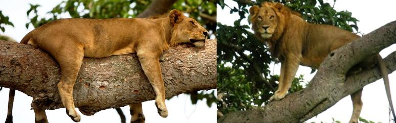 3 Day Ishasha Plains Tree Climbing Lions Safari