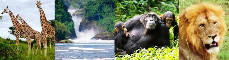 5day murchison falls wildlife and kibale forest chimpanzee tracking safari in Uganda