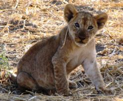 6 day safari Queen Elizabeth National Park Wildlife - baby lion