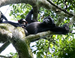 8 Days Gorilla Trekking, Chimpanzee Tracking uganda safari