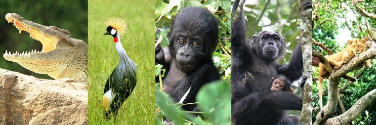 8 Days Gorilla Trek, Chimpanzee Tracking, Wildlife and birding Uganda safari