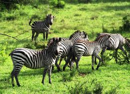 9 Day Rhinos, Wildlife, Mountain Gorilla, Primate Uganda Safari