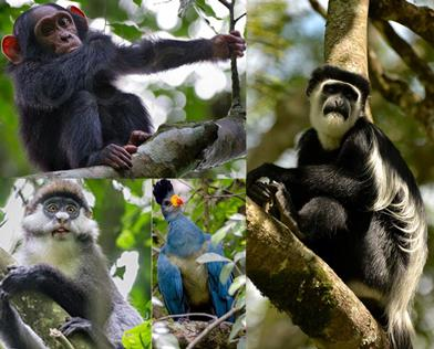 Best Chimpanzee Viewing Opportunities in the Primate Capital of Africa - Kibale