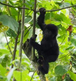 Busingye Gorilla Family - Mountain Gorilla Families in Bwindi impenetrable National Park, Uganda