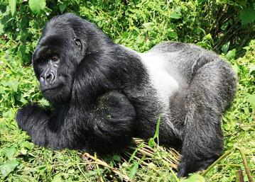 Uganda Mountain Gorilla Background Information - silverback