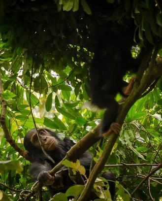 Chimpanzee Habituation Experience in Kibale Park Uganda