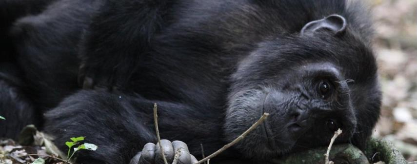 Chimpanzee Trekking in Kibale Forest National Park, Uganda � The Best Place for Chimp Trekking Safaris in East Africa
