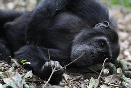 Chimp Trekking Safaris in East Africa - Chimpanzee Trekking in Kibale Forest National Park: