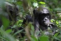 Chimp Trekking Safaris in East Africa - Chimpanzee Habituation Experience (CHEX)