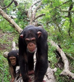 3 Day Kibale Forest Jungle Experience Chimpanzee Tracking