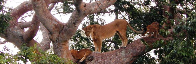 Ishasha Sector - Queen Elizabeth Park - Best Place to See Tree Climbing Lions in Africa