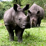 rhinos at Ziwa Rhino Sanctuary near murchison falls national park uganda