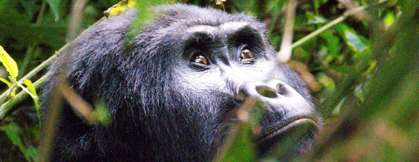 Uganda is the best place to go on an African Mountain Gorilla tracking (trekking) Safari Tour