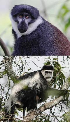 "Bwindi Impenetrable Forest National Park Information - L""Hoest's, red tailed and blue monkeys"
