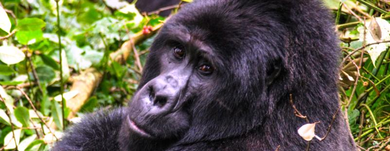 Bwindi Impenetrable Forest National Park information - Mountain Gorilla