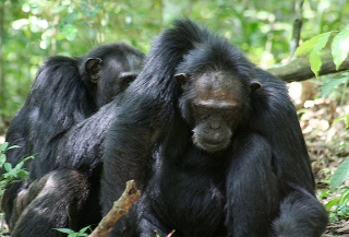 Uganda Chimpanzee Tracking Information: Safaris, Background, Places for Chimpanzee - Chimpanzee Care for the little ones