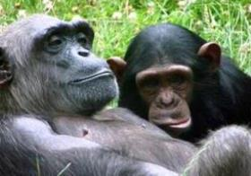 Uganda Chimpanzee Tracking Information: Safaris - Chimpanzee Diet