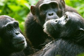Mountain Gorillas, Chimps Combined with Queen Elizabeth National Park Wildlife and Kazinga Chanel