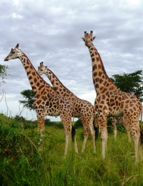 Facts, information, background and best safari tours - Murchison Falls National Park