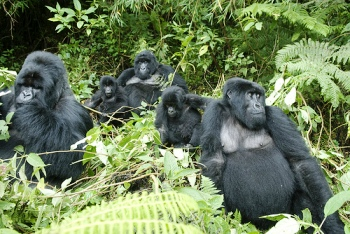Gorilla Background Information, Facts, History, Description, Behavior, Habitat, Diet and Predators