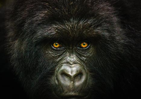 Gorilla Habituation Experience in Bwindi - Uganda