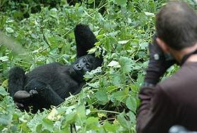 Chimpanzee and Gorilla Tracking (Trekking) Uganda tour