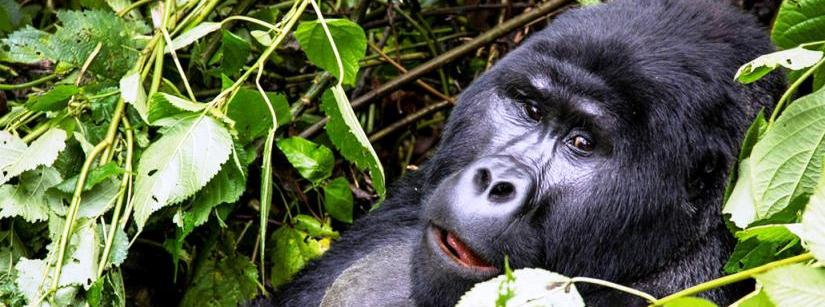 Uganda Mountain Gorilla Tracking (Trekking) Information & Guide