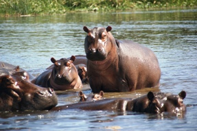 hippos at Kazinga channel queen elizabeth national park uganda