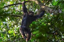 Chimpanzee Trekking in Kibale National Park - Kalinzu Forest - Chimp Treks � Birding and Nature Walks
