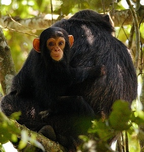 Uganda Chimpanzee Tracking Information: Safaris - Chimpanzee Care for the little ones – baby chimp