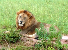 lion at queen elizabeth national park uganda