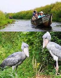 12 Day Peal of Africa - Uganda Safari Visiting the best places - Mabamba swamp shoebill Stork