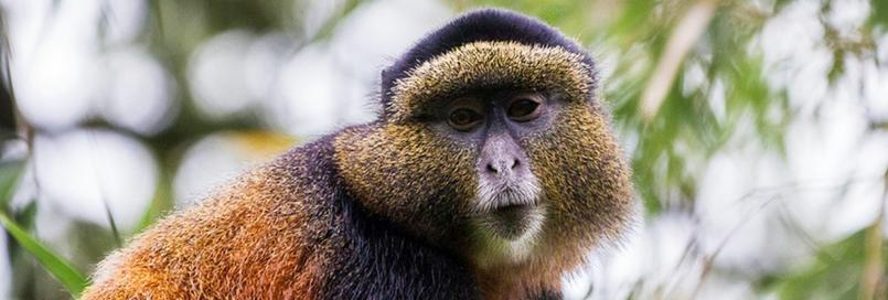 Mgahinga Gorilla National Park - Uganda, Safari Information - Golden monkey