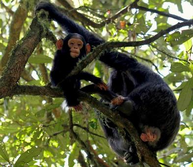 The Chimpanzee Habituation Experience - Kibale National Park