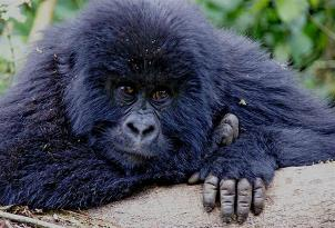 Mountain Gorilla Background Information, Facts, History