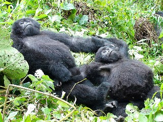 Gorilla Facts; history, description, behavior, habitat, diet and predators - mountain gorillas wrestling