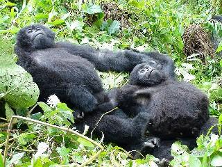 Uganda Mountain Gorilla Background Information, Facts, History ...