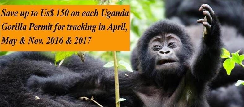 Promotional gorilla permits at $450 - save $150 on uganda gorilla permits