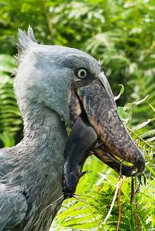 Visit Mabamba wetland swamp- Home to the Shoebill Stork