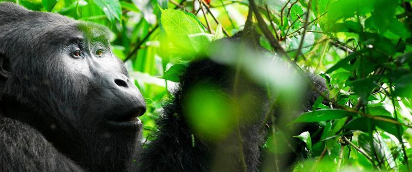 Trekking (Tracking) Uganda Mountain Gorillas - Bwindi from Rwanda without coming to Kampala