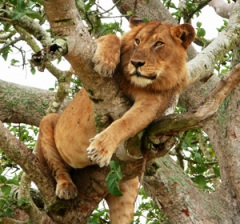tree climbing lion at ishasha queen elizabeth national park