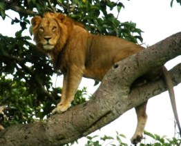 Tree Climbing Lions of the Unvisited Ishasha Sector